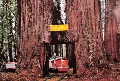 Тоннели сквозь гигантские деревья (10 фото)