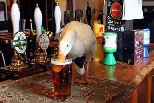 Пьющая утка стала талисманом паба (7 фото)
