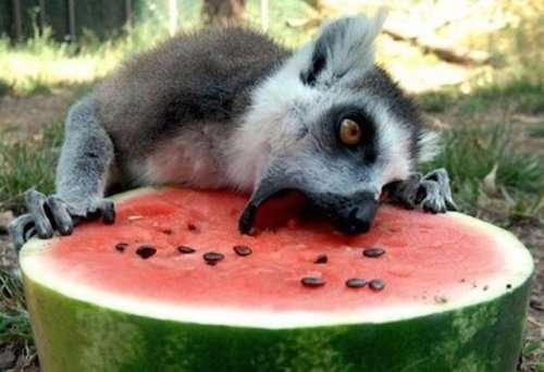 Животные, которые обожают человеческую пищу (17 фото)