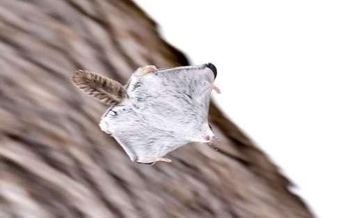 Очаровательные летяги (12 фото)
