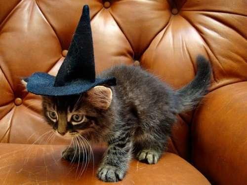 Забавные кошки в ведьминских шляпах (12 фото)