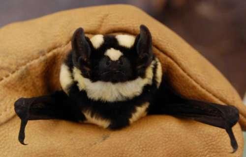 Топ-10: Редкие и необычные виды летучих мышей