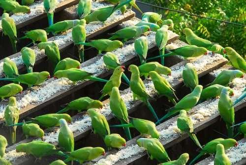 62-летний индиец заботится о 4 тысячах зелёных попугаев (5 фото)