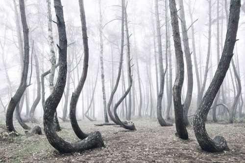 Мистический лес с кривыми деревьями в Польше (6 фото)