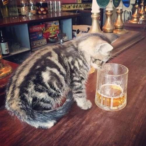 "Английский паб ""Кожа да когти"", в котором живут 15 кошек (8 фото)"