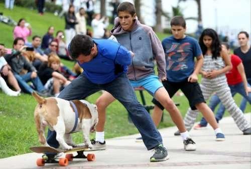 Бульдог-скейтбордист Отто установил мировой рекорд (7 фото + видео)