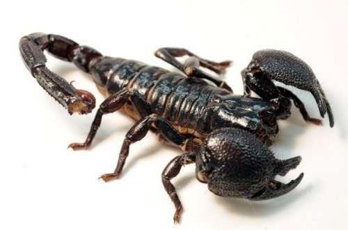 Топ-25: Факты о скорпионах, о которых вы могли не знать