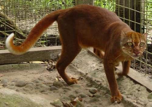 Виды диких кошек, о которых вы могли не знать (21 фото)