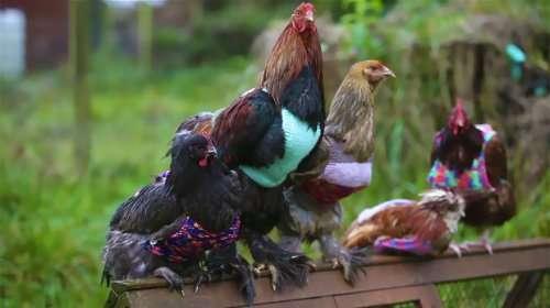 Добрые англичанки дают приют и вяжут джемперы для старых куриц (4 фото + видео)