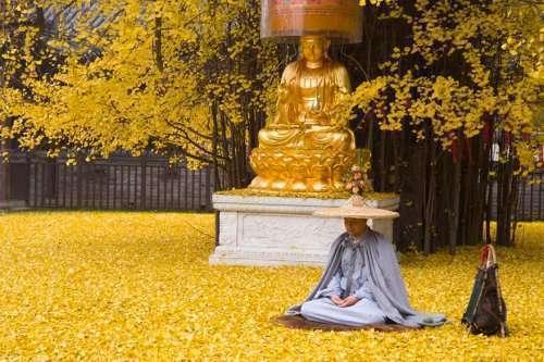 14-вековое реликтовое дерево превратило двор буддийского храма в золотистый океан (5 фото)