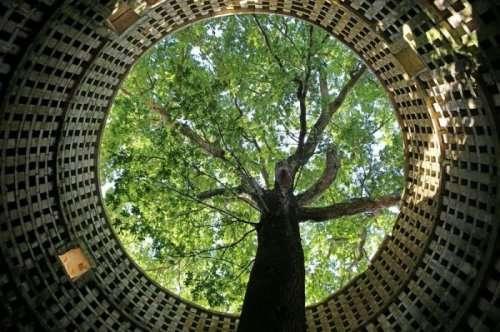 Вековой дуб, выросший внутри голубятни (5 фото)