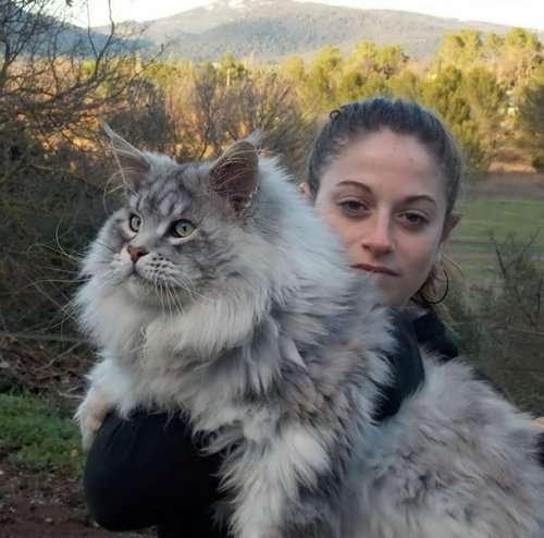 Мейн-куны, по сравнению с которыми ваша кошка будет выглядеть крошечной (31 фото)