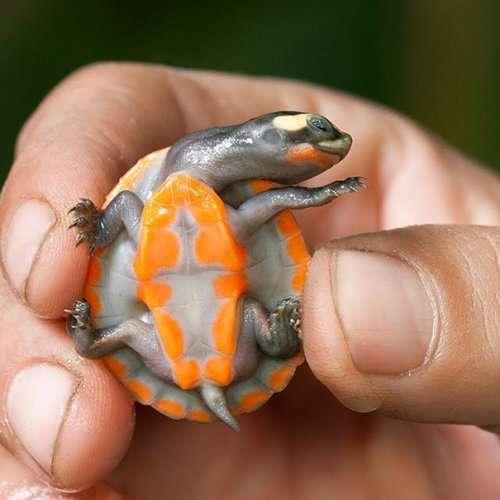 Очаровательные черепахи и черепашата (32 фото)