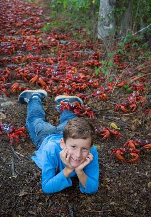 Ежегодная миграция миллионов красных крабов на острове Рождества (11 фото)