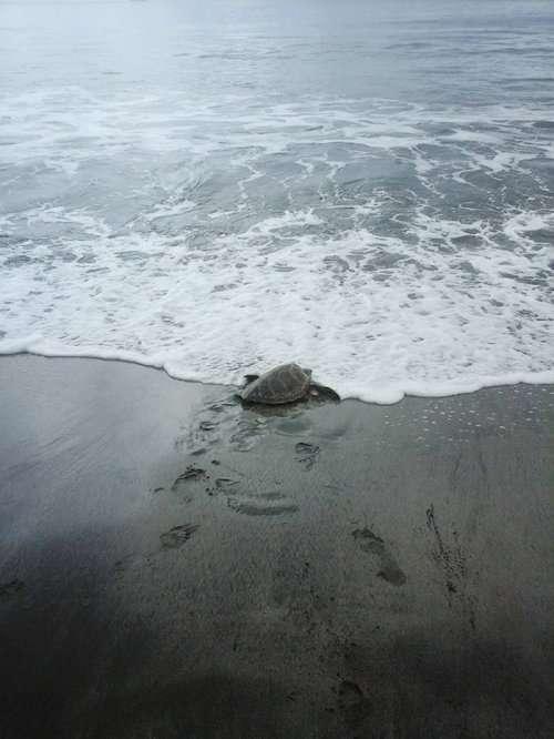 Мужчина выкупает морских черепах, чтобы вернуть их обратно в море (4 фото)