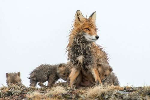 Дикие лисицы через фотообъектив Ивана Кислова (19 фото)