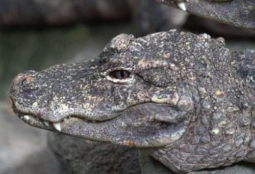 Топ 10: Редкие или необычные крокодилы и аллигаторы