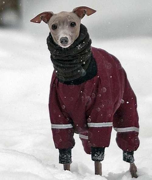 Собаки, готовые к зимним прогулкам (9 фото)