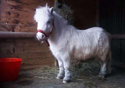 Рождественский наряд для пони Даффи (7 фото)
