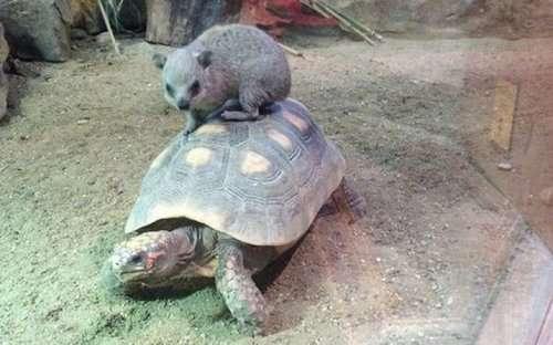 Забавные животные, оседлавшие своих собратьев (33 фото)