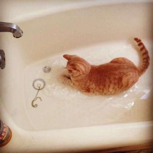Кошки-любительницы водных процедур (24 фото)