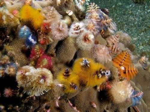 Симпатичные морские черви, похожие на новогоднюю ёлку (12 фото)