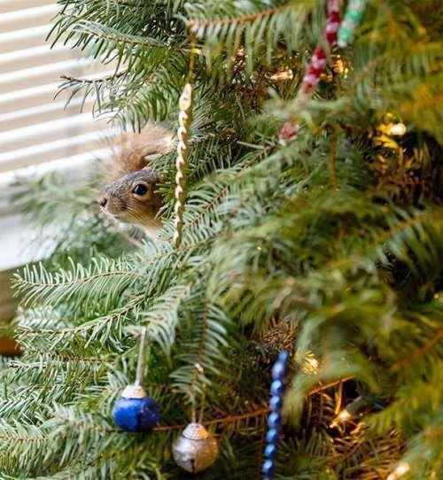 Спасённый бельчонок Миттен, живущий на рождественской ёлке (4 фото)