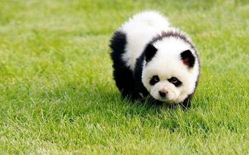 Очаровательные щенки, похожие на мишку Тедди (29 фото)