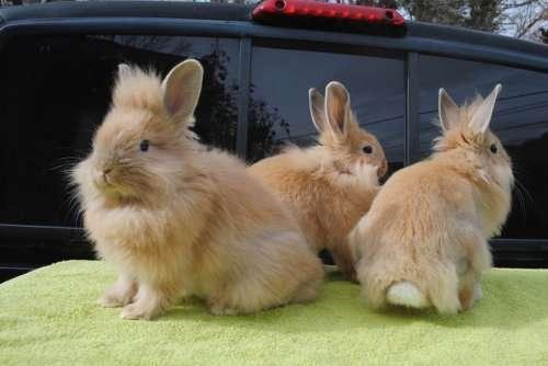 Очаровательные кролики с львиной гривой (21 фото)