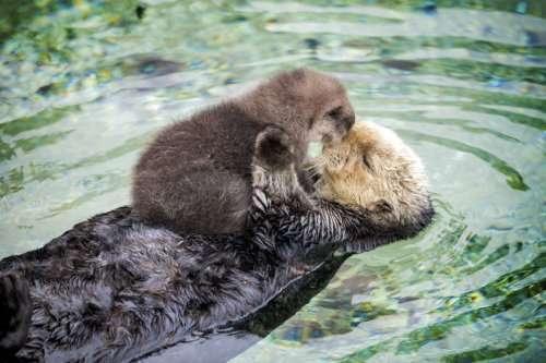 Мимими дня: новорождённый детёныш морской выдры спит на животе своей матери (5 фото + видео)