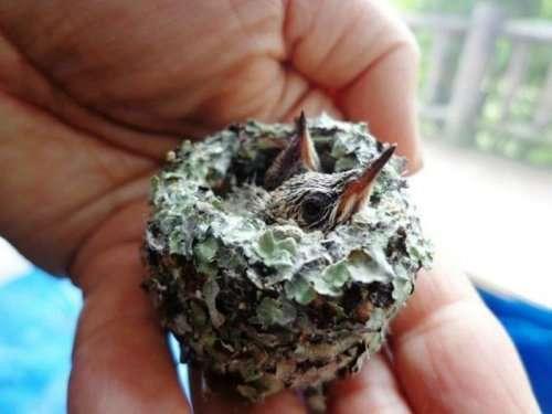 Крошечные птенцы колибри, спасённые человеком (4 фото)