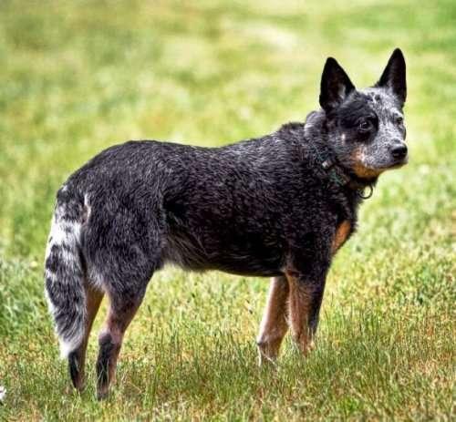 Топ-25: Самые умные породы собак