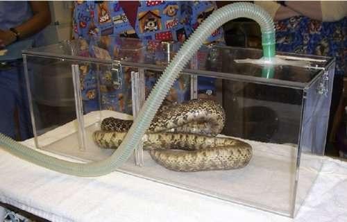 Змеи под анестезией (10 фото)