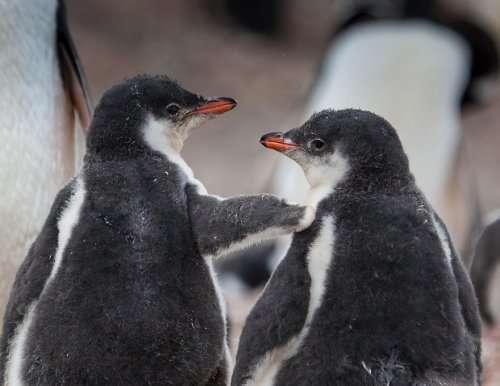 Нравятся ли вам пингвины так же, как нам? (19 фото)