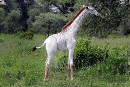 Редкий белый жираф в Национальном парке Тарангире (5 фото)