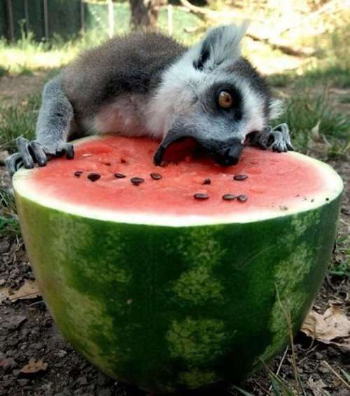 Животные, которые обожают поесть (34 фото)
