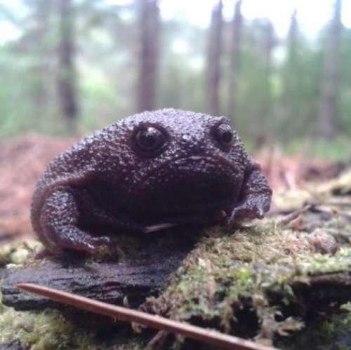 Недовольная чёрная дождевая лягушка (4 фото)