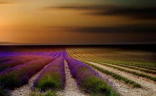 Живописные лавандовые поля (8 фото)