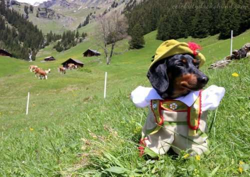 Очаровательная такса Крузо в своих нарядах (20 фото)