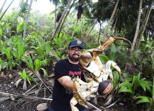 Турист сфотографировался с кокосовым раком (2 фото)