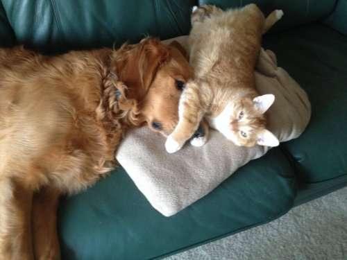 О дружбе кошек и собак (19 фото)