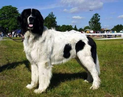 Топ-25: Самые дорогостоящие породы собак в мире