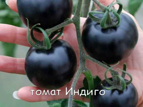 Черные томаты — спутники здоровья дача,овощи,огород,полезные советы,растения