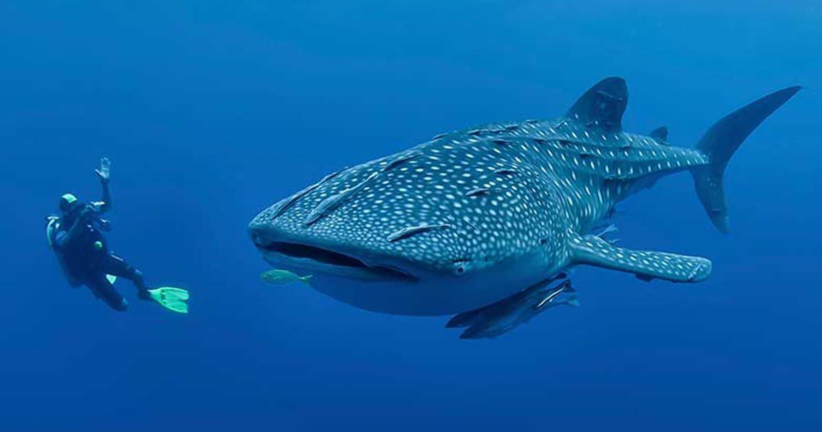 Огромная китовая акула схватила дайвера за ногу, но у нее была на то причина животные,факты,фауна